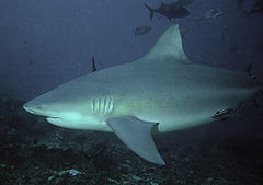 Bull Shark - This shark can travel between salt and fresh water and vice versa.