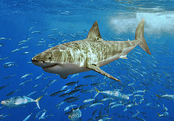 Great White Shark - The most dangerous shark there is.