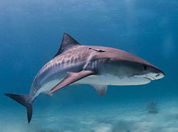 Tiger Shark - Tiger SHarks will and have eaten just about everything!