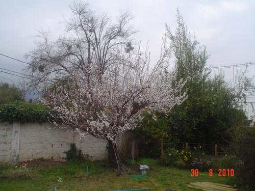 Apricot in bloom - The apricot in my garden, last year.