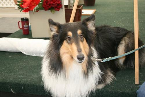 Collie - A very beautiful tri-color collie!