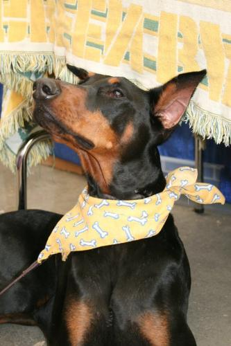 Doberman Pincher - A beautiful Doberman Pincher!