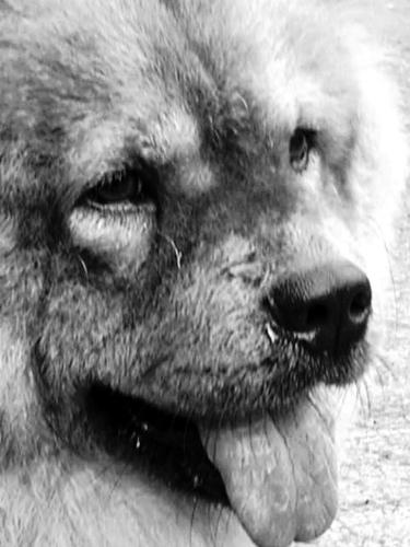 dog - a dog with bear like features.