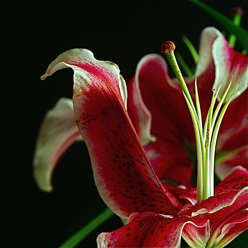 red big pitals - i love it