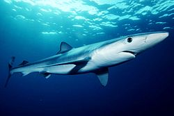 Blue shark - One of the species of sharks that are dangerous.