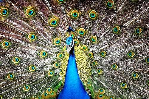 peacock - a very grand peacock