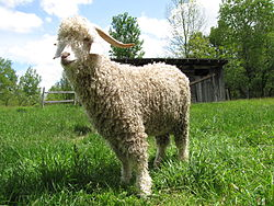 Angora Goat - Another animal that produces Angora wool.