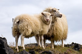 Sheep - A pair of Icelandic sheep.