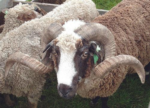 Horns - An Arapawa Merino sheep. Those are some mean looking horns!