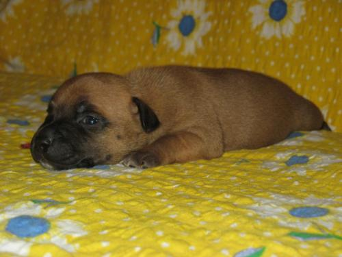 English Staff puppy - An old English breed