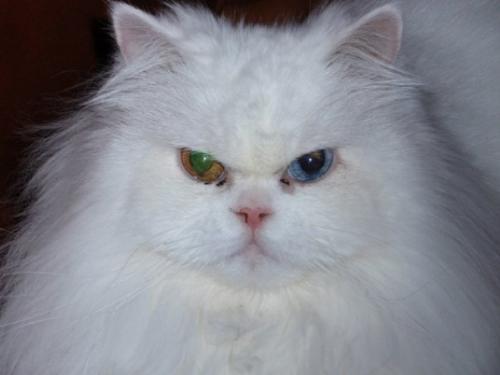 My cat - My beautiful cat, Sweet Pea