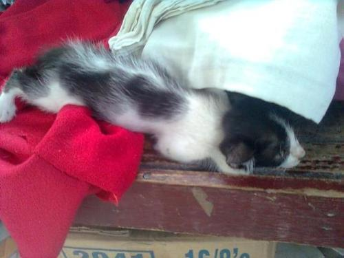 kitten pose - This kitten likes resting after meals.