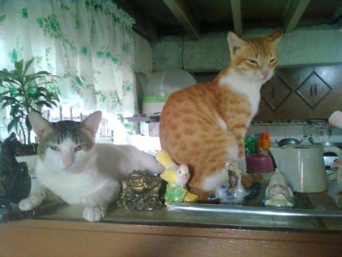 Dispaly Cats - My cats like sitting or sleeping on top of our cabinet together with the figurines there. They have even broken some of the figures there.
