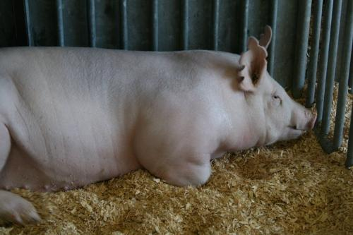 White Pig - I nice looking sow that was at the Wisconsin State Fair this year.