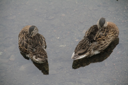Two ducks - Two mallards in the water