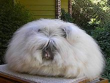 Angora Rabbit - An English Angora rabbit. There is so much hair it is hard to see the rabbit!