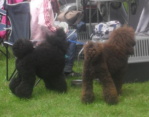 Poodles - at CACIB Sibiu 2011
