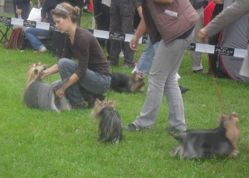 Yorkies - at CACIB Sibiu 2011