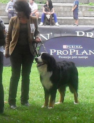 Bernen Shenenhund - at CACIB Sibiu 2011