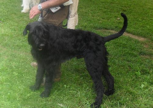 Giant Schnauzer puppy - at CACIB Sibiu 2011
