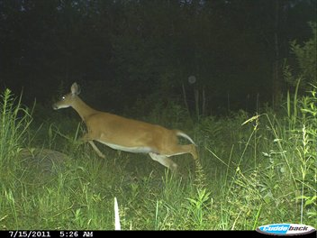 Whitetail Deer - A White Tail doe jumping through the grass.