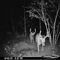 Bucks - Two Whitetail Bucks with some nice antlers on them!