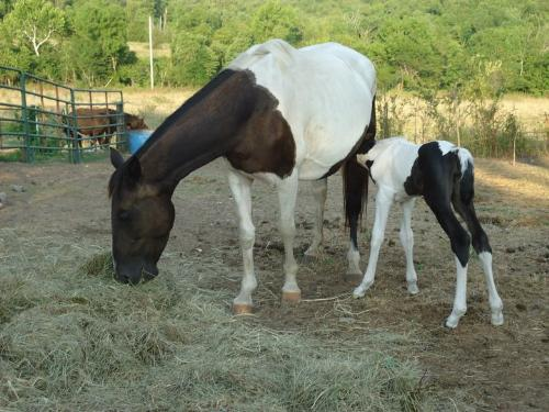 Mom and baby - The Paint foal with his paint mom.