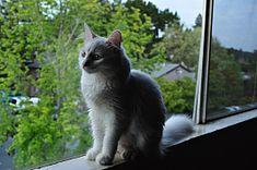 Sitting in the window - An Turkish Angora cat.