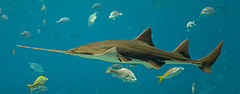 Sawfish - I thought a Sawfish was a shark. No it isn't. It is a member of the Ray family.