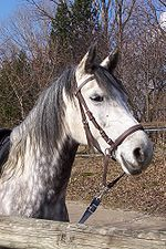 bitless bridle - One style of a bitless bridle.