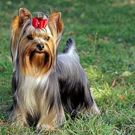 Yorkshire Terrier - They are a terrier but in the toy group.