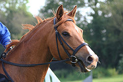 Hunt Bridle - A Hunt Bridle with a snaffle bit/