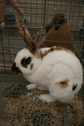 Rabbit - A Rex rabbit. Never seen a rabbit in these colors before!
