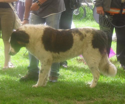 Romanian Shepherd - de Bucovina - at CACIB Sibiu 2011