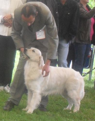 Golden Retriever - at CACIB Sibiu 2011