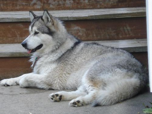 Daphne - This is my Alaskan Malamute Daphne. She is enjoying a rest after swimming.