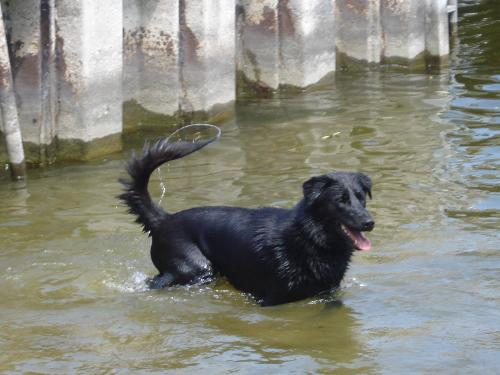 Houji - This is Houji. He is Black Lab and Siberian Husky. I got him from a rescue shelter. His favorite thing is swimming.