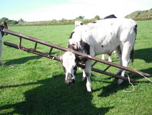 Cow in Ladder - Somw how this cow got itself stuck in a ladder in Scotland! The owner had no idea how it happened or how the ladder got in the field in the first place! They got the ladder off the cow and it was alright.