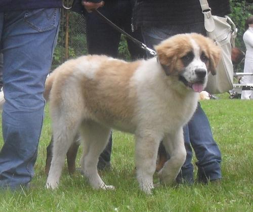 Saint Bernard puppy - at CACIB Sibiu 2011