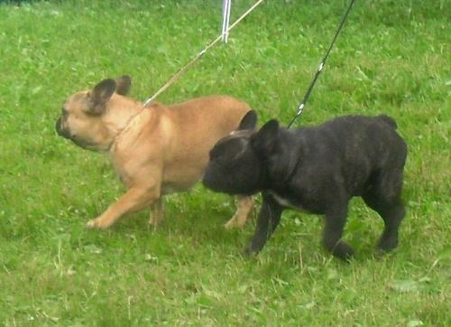 French Bulldogs - at CACIB Sibiu 2011