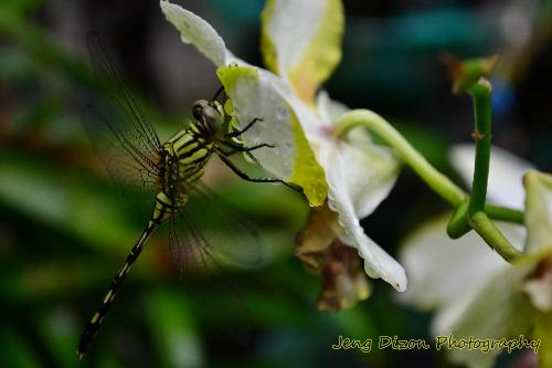 dragonfly - This picture was taken in our yard after the rain stopped. The dragonfly was still clinging on the flower,so I took the opportunity of taking a picture of it.^_^