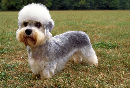 Dandie Dinmont Terrier - The only breed of dog named after a fictional charecter.