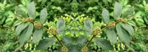Tawa-tawa plant - Natural Cure for Dengue