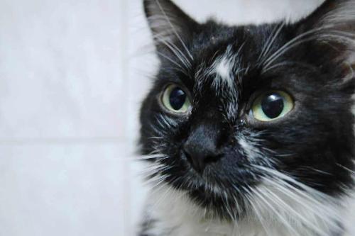 cat - black and white cat