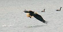 Bald Eagle - This bald eagle is fishing.