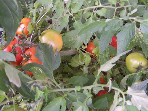 gardening - Tomatoes in my garden!