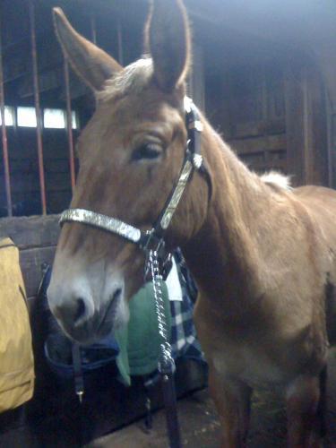 Mule - A very handsome mule.