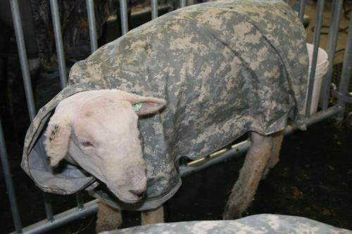 Sheep in a blanket - This sheep was sheared and to keep warm a blanket was put on!