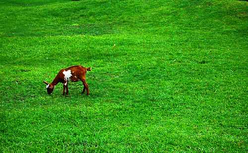 grass -  a green green grass with goat.
