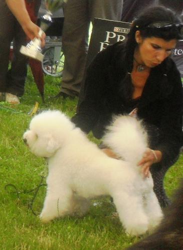 Bichon a Poil Frise - at CACIB Sibiu 2011